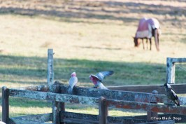 Galahs and Magpie