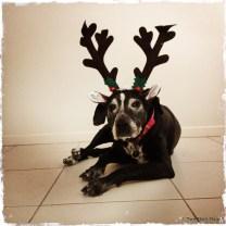Maxi the reindeer
