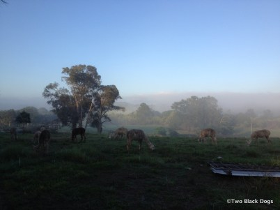 Alpacas in the fog