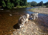 Husky dogs and creek