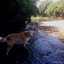 dogs in creek