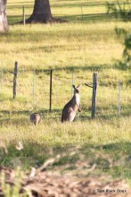 Kangaroos in paddock