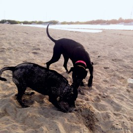 two black dogs digging in the sand