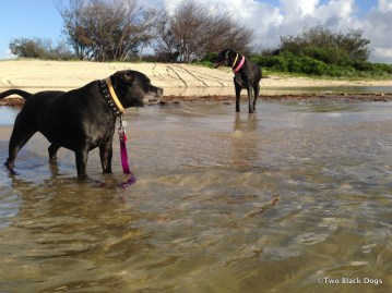 two black dogs standing in the water