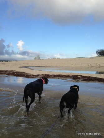 Maxi and Bundy the dogs wading through the water