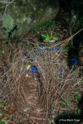 The bower of a Bowerbird