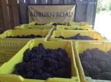 Pinot Grigio Harvest