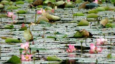 Lotus blooms en-route Nagaon.