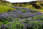 Lavendar fields of Lupine - Vik