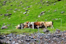 And we saw cattle