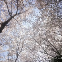 Walking Under a Canopy of Cherry Blossoms (Spring 2017)