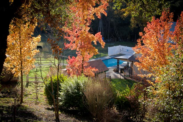 Pasture with cow, green grass, orange and yellow trees in fall, and pool at evening