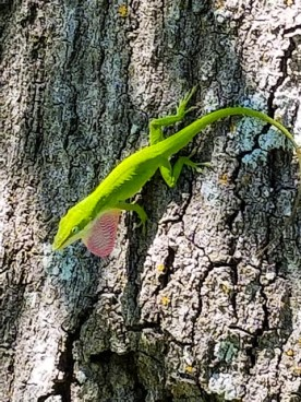 Green lizard puffing up his throat in a showy display of satisfaction or pride