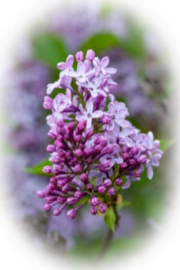 Lilac cluster in white vignette