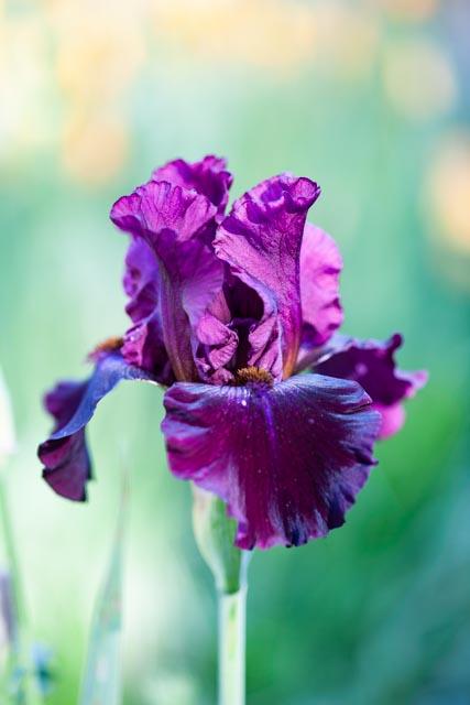 Purple, bearded iris in full bloom on green background