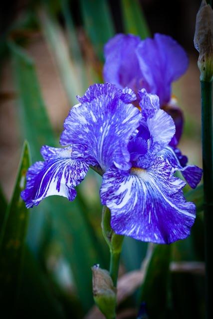 varigated purple bearded iris in full bloom