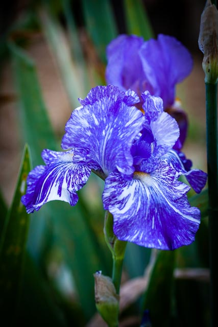 varigated purple bearded iris in full bloom