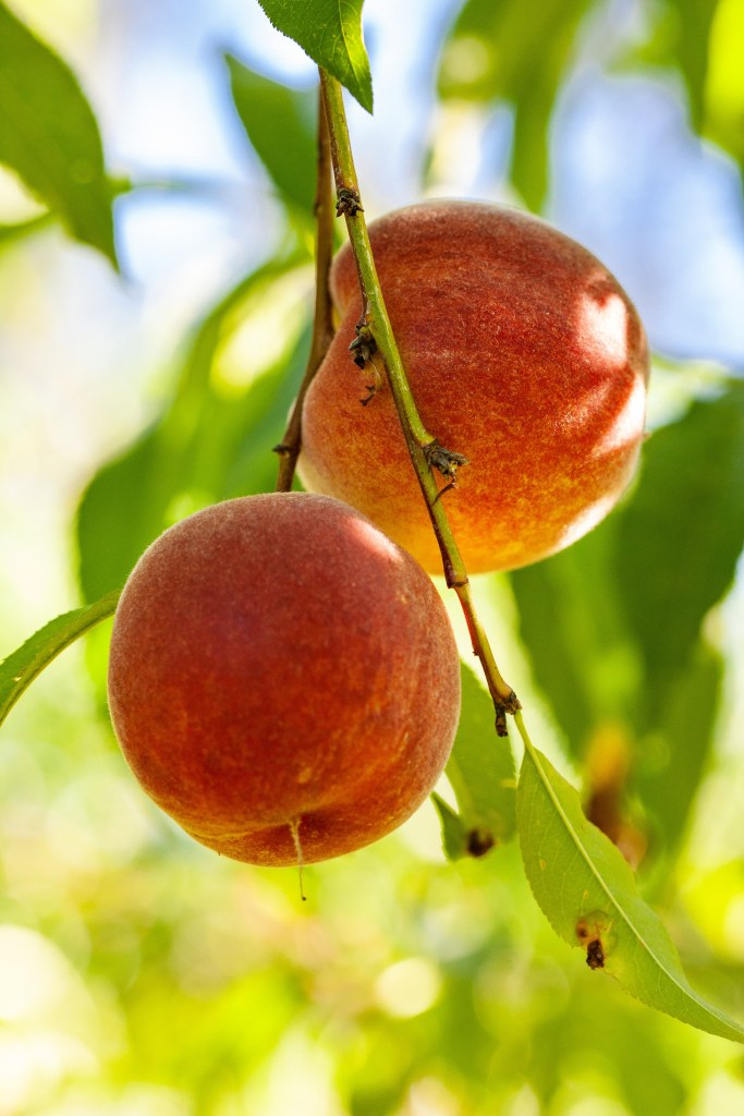two ripe peaches hanging on a limb with green leaves and sky in background