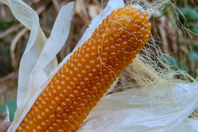 golden kernels of popcorn on an ear with silk threads draping down
