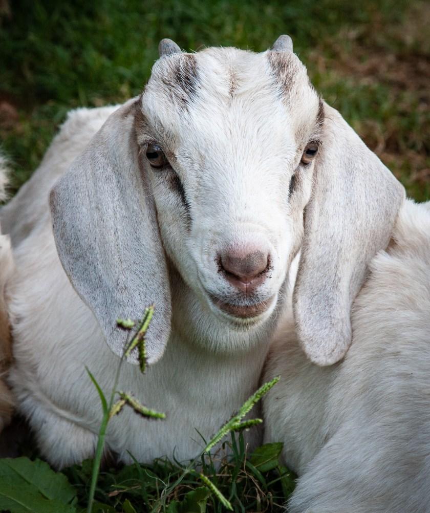 Cute little face of boy goat kid named Boy Story