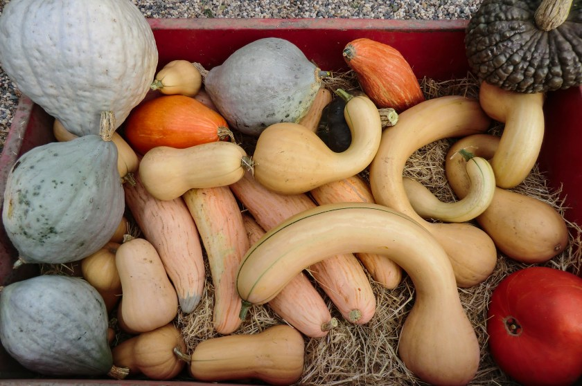 wagon of winter squash, including butternut (Waltham and Pennsylvannia Dutch), hubbard, pumpkin, North Carolina candy roaster