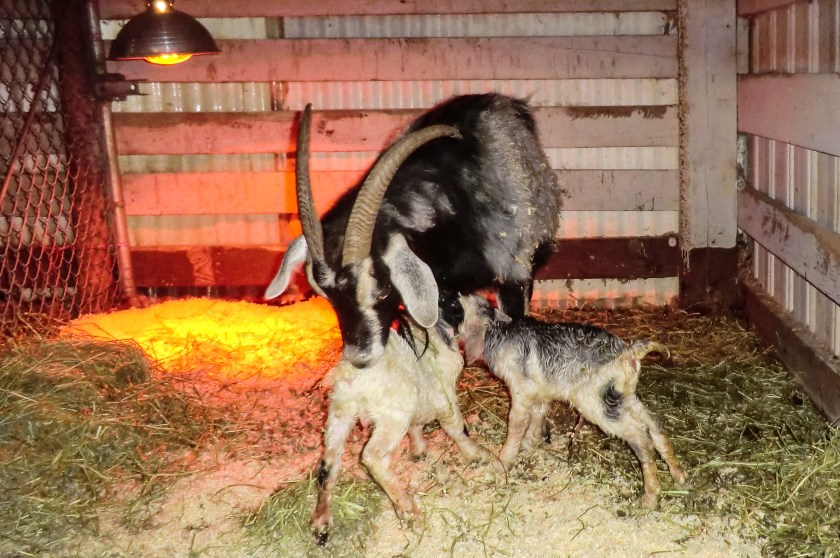 Alpine goat with her two, new kids just minutes old