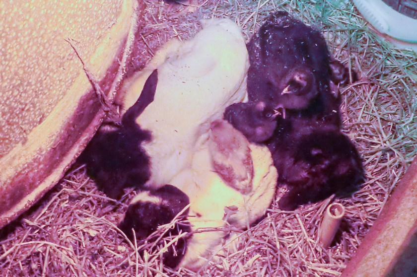 Three little chicks resting on top of three, day-old goats all under a heat lamp