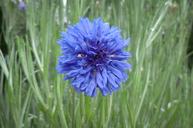 A blue cornflower button suspended in front of green stems.