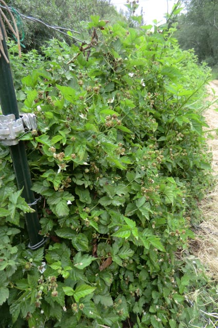 clusters of small, green boysenberries nestled into vines and leaves