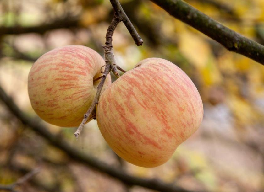 two apples hanging on a stem in front of a background of yellow autumn leaves