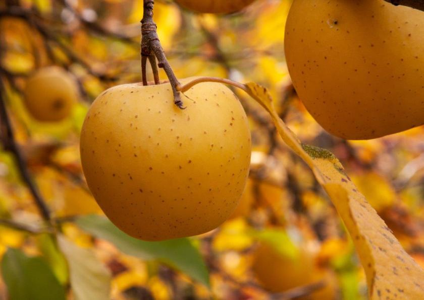 two yellow apples hanging on a stem in front of a background of yellow autumn leaves