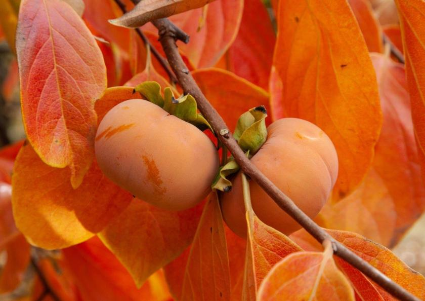 two organge persimmons hanging on a limb with bright orange leaves in the background