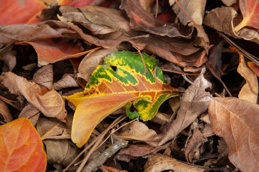 A green and brown varigated leaf lays among brown and dry leaves on the ground