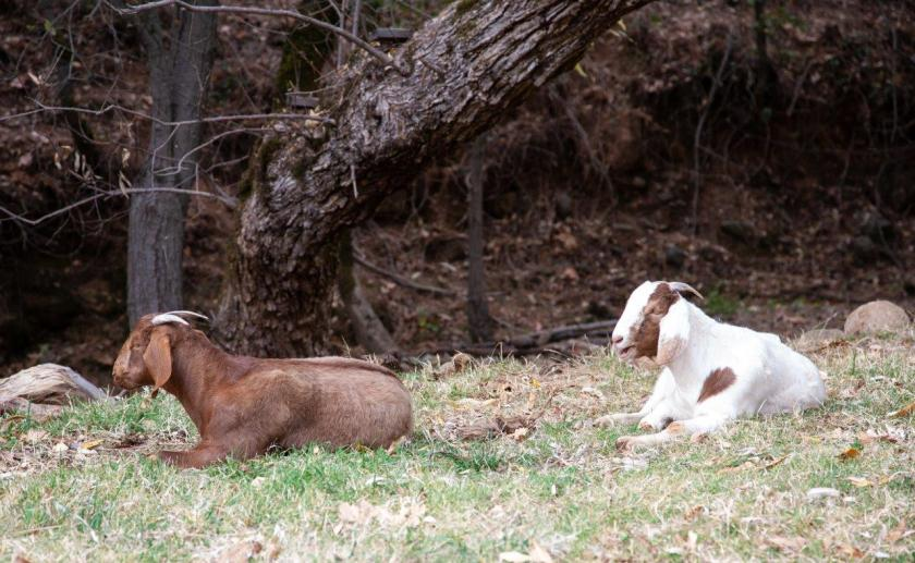 A brown goat kid and a brown and white goat kid resting by a creek on the grass