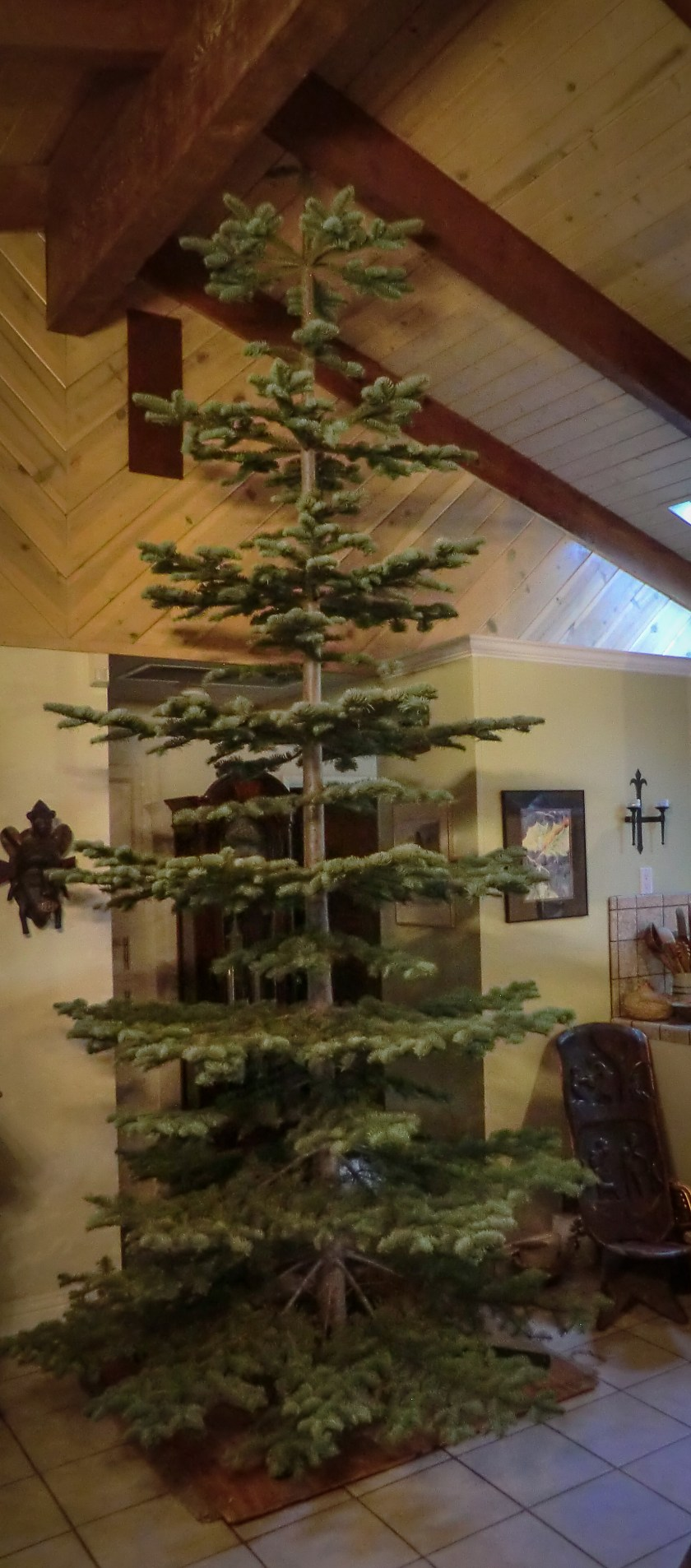A pine tree standing in a living room, floor to ceiling.