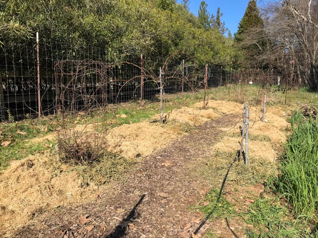 a row of kiwi vines and a row of grape vines all tidy and mulched
