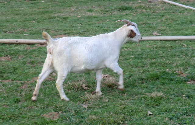 A brown and white goat