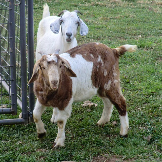 A brown and white goat in front of a white and black goat