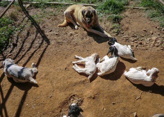 Large Anatolian Shepherd Dog watching over six napping goat kids