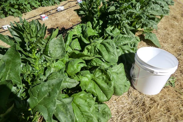 a row of large, green spinach leaves dwarfs a white bucket sitting next to it