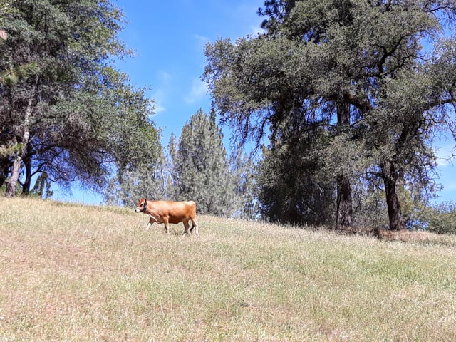 a jersey heifer walking across a field with blue sky and pine trees