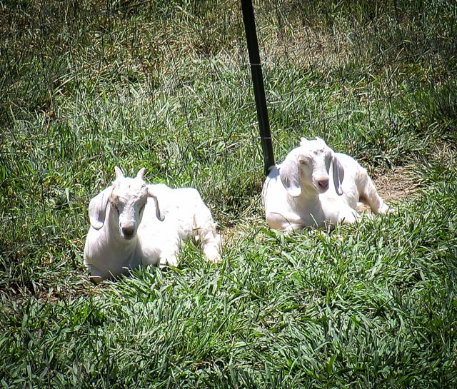 Two white goat kids laying in the grass