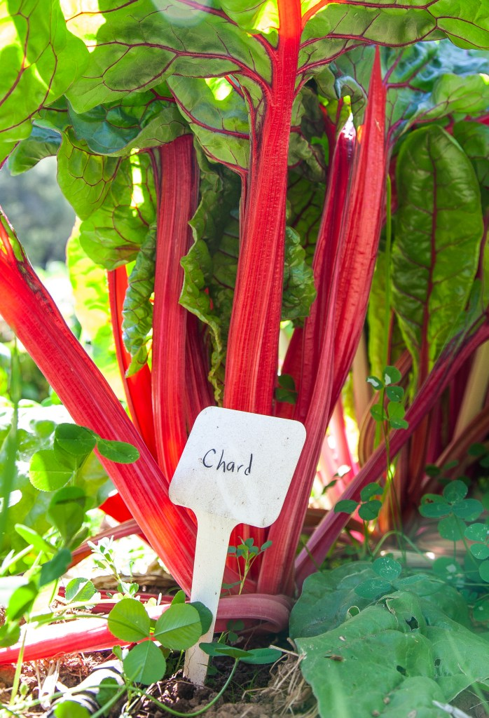"""Red stalks of chard growing in the garden with large, red-veined green leaves and a little sign that says """"Chard"""""""