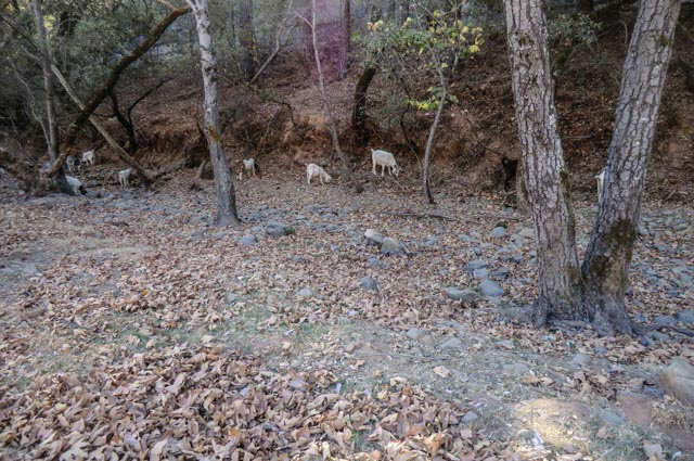 A bunch of goats grazing in a creek bed