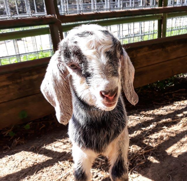 newborn baby goat