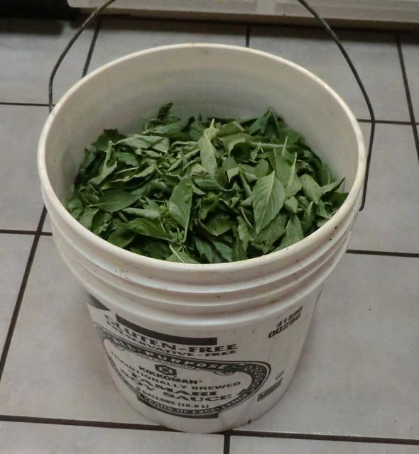 a bucket full of basil leaves