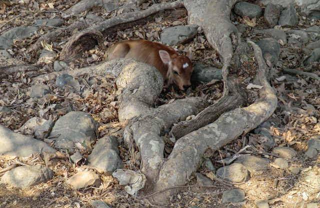 a calf laying hidden in a tree root