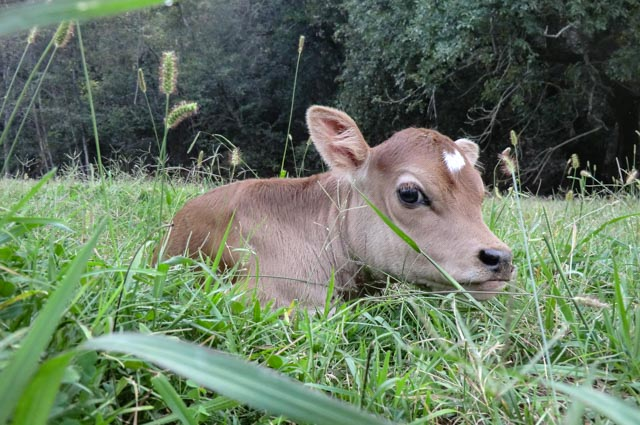 A two-day-old calf laying in green grass