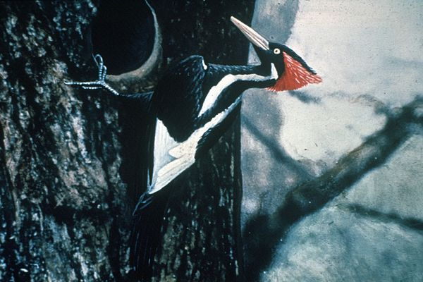 Ivory-billed_Woodpecker_by_Jerry_A._Payne.jpg
