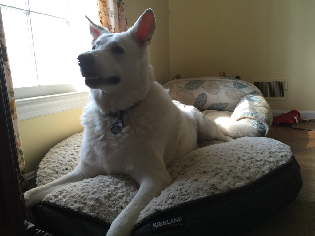 Yuki sitting on his new dog bed